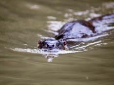 Otter in Carminow Creek